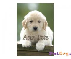 Golden Retriever Puppies For Sale In India, Golden Retriever Price In India