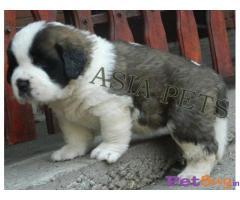 saint bernard puppies for sale in hyderabad