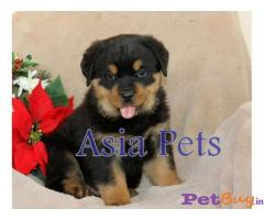 Dogs rottweiler Hyderabad - Puppies Hyderabad