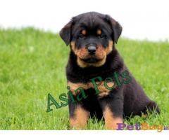 Rottweiler dogs for sale Hyderabad