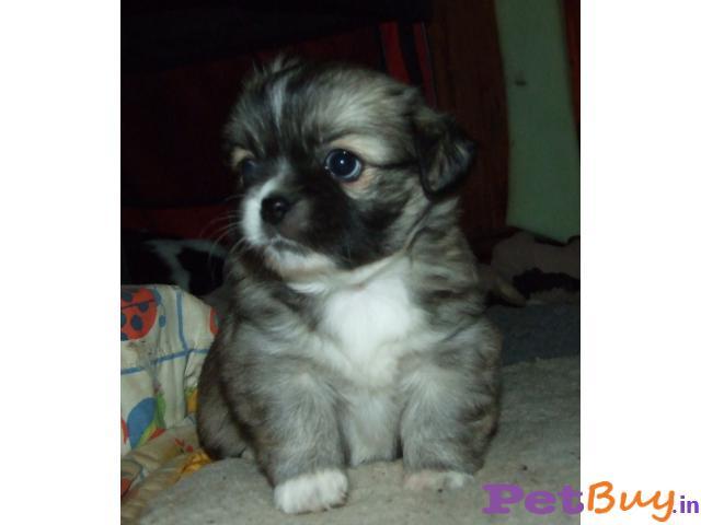 Tibetan Spaniel Puppies For Sale In India, Tibetan Spaniel Price In India