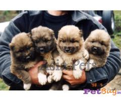 Caucasian Shepherd Puppy Price In Bhopal, Caucasian Shepherd Puppy For Sale In Bhopal