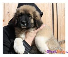 Caucasian Shepherd Puppy Price In Chandigarh, Caucasian Shepherd Puppy For Sale In Chandigarh