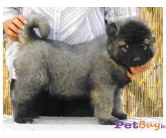 Caucasian Shepherd Puppy Price In Indore, Caucasian Shepherd Puppy For Sale In Indore