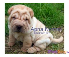 Sharpei Price in India, Sharpei puppy for sale in Delhi