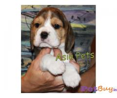 Beagle puppies for sale - hyderabad