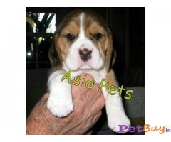 Beagle Price in India, Beagle puppy for sale in Hyderabad