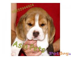 Buy Beagle Hyderabad - Beagle for Sale
