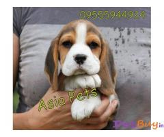 Dogs beagle : Buy or adopt Pets in Chennai