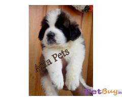 price of saint bernard dog