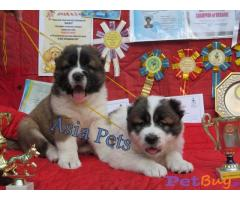 Caucasian Shepherd Puppy Price In Lucknow, Caucasian Shepherd Puppy For Sale In Lucknow