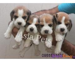 Beagle Puppies For Sale In Mumbai