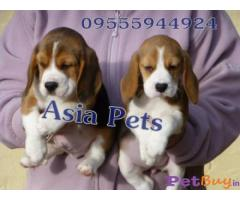 Beagle Puppies For Sale In New Delhi