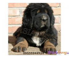 Tibetan Mastiff For Sale In India