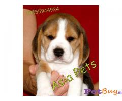 BEAGLE  Puppies for sale at best price in Gurgaon