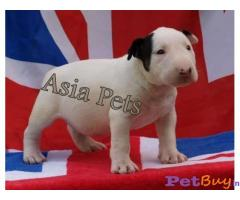 BULLTERRIER Puppies for sale at best price in Gurgaon