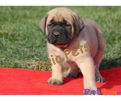 English Mastiff    Puppies for sale at best price in Gurgaon