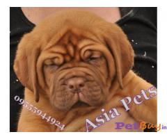 French Mastiff  Puppies for sale at best price in Gurgaon