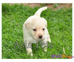 LABRADOR Puppies for sale at best price in Gurgaon