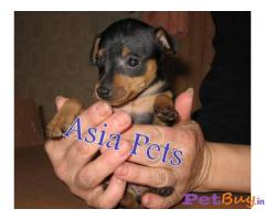 MINIATURE PINSCHER  Puppies for sale at best price in Gurgaon