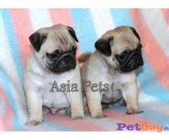 PUG Puppies for sale at best price in Gurgaon