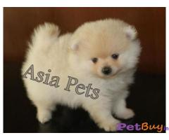 POMERANIAN Puppies for sale at best price in Gurgaon