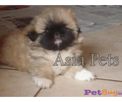PEKINGESE  Puppies for sale at best price in Gurgaon