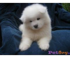Samoyed Puppies for sale at best price in Gurgaon