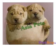 SHAR PEI  Puppies for sale at best price in Gurgaon