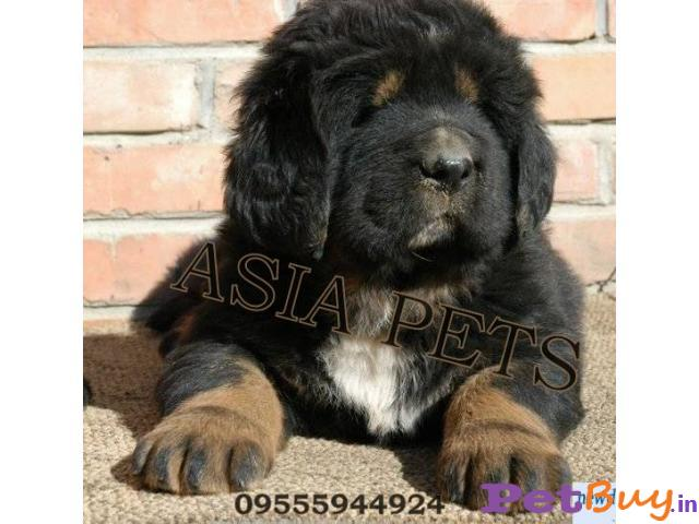 TIBETAN Mastiff Puppies for sale at best price in Gurgaon