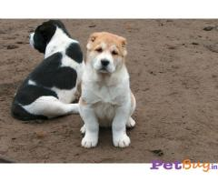 ALABAI Puppies for sale at best price in Delhi