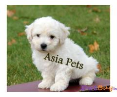 BICHON FRISE  Puppies for sale at best price in Delhi