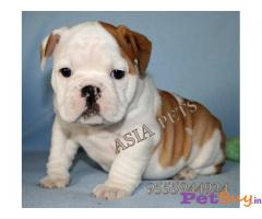 BULLDOG  Puppies for sale at best price in Delhi
