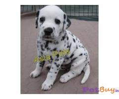 Dalmatian Puppies for sale at best price in Delhi