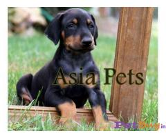 Doberman    Puppies for sale at best price in Delhi
