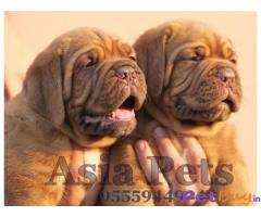 French Mastiff  Puppies for sale at best price in Delhi