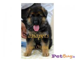 German Shepherd    Puppies for sale at best price in Delhi