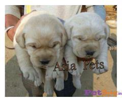 LABRADOR Puppies for sale at best price in Delhi