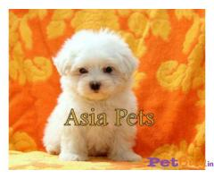 Maltese  Puppies for sale at best price in Delhi