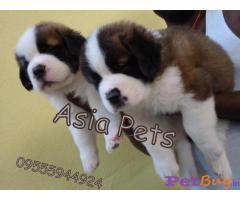 SAINT BERNARD Puppies for sale at best price in Delhi