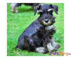 SCHNAUZER Puppies for sale at best price in Delhi