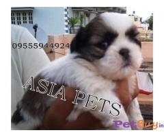 SHIH TZU  Puppies for sale at best price in Delhi
