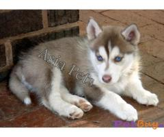 SIBERIAN HUSKY  Puppies for sale at best price in Delhi