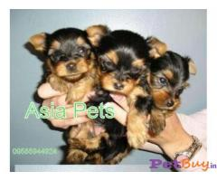 YORKSHIRE TERRIER  Puppies for sale at best price in Delhi