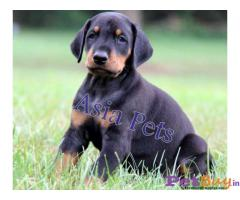 Doberman    Puppies for sale at best price in Pune