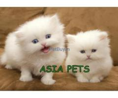 Persin Kitten  For sale At Asia Pets