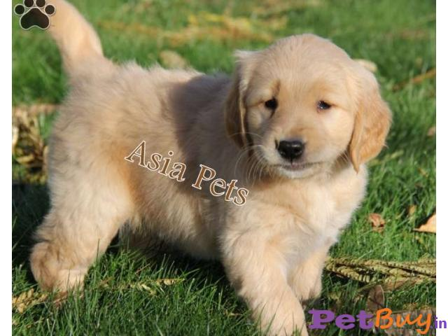 Golden Retriever Puppies For Sale At Best Price In Pune