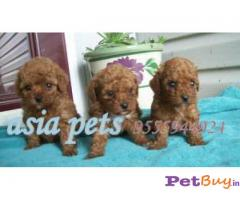 POODLE Puppies for sale at best price in Pune