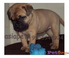 BULLMastiff Puppies for sale at best price in Mumbai