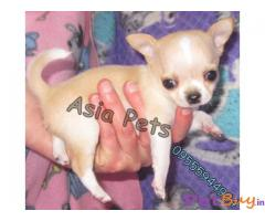 CHIHUAHUA Puppies for sale at best price in Mumbai